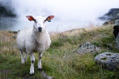 Three sheeps in Norway stock photography