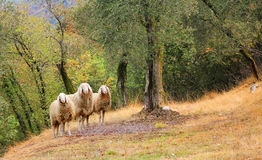 Three sheeps in a olive grove. Three sheeps, standing in a olive grove royalty free stock images