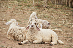 Three sheeps sit in stable Royalty Free Stock Image