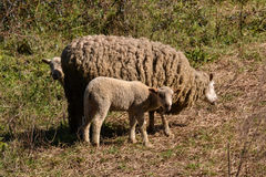 Three sheeps within vegetation Royalty Free Stock Photos