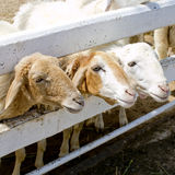 Three sheeps are waiting feed Stock Photos