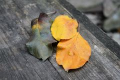 Three sheets of different colors are on the table of wood, autumn, street royalty free stock images