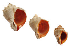 Three shells. Three different size shells isolated Royalty Free Stock Image