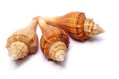 Three shells Royalty Free Stock Photos