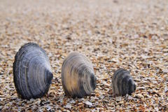 Three Shells at the Beach Stock Images