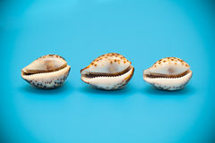 Three shells with brown spots Royalty Free Stock Photo