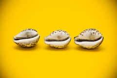 Three shells with brown spots Royalty Free Stock Image