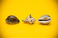 Three shells with brown spots on a yellow background Royalty Free Stock Photo