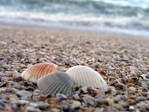 Three shells at the Ocean. The shells are in focus with the waves in the background stock photography