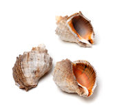 Three shells from rapana venosa Royalty Free Stock Images