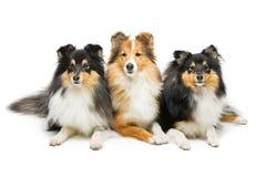Three sheltie dogs Stock Photo