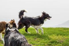 Three shepherd dogs on mountain meadow. Three shepherd dogs 2 border collie runs on the mountain meadow Stock Photos
