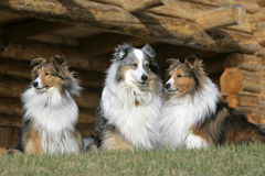 Three Shetland Sheepdogs Royalty Free Stock Photos
