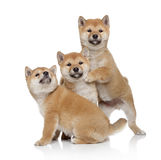 Three Shiba inu puppies. Three Shiba-inu puppies on a white background Stock Photo