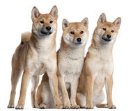 Three Shiba Inu puppies, 6 months old stock photo
