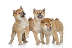 Three Shiba inu puppies on white background Royalty Free Stock Image