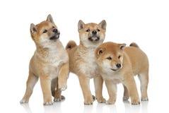 Three Shiba inu puppies on white background