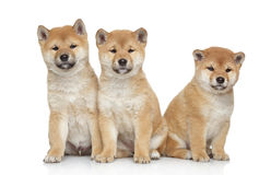 Three Shiba inu puppies on white background Stock Photo