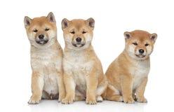 Three Shiba inu puppies on white background Stock Photo