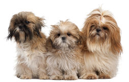 Three Shih-tzus Royalty Free Stock Photography