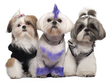 Three Shih Tzus dressed up Royalty Free Stock Photography