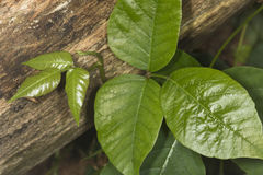Three shiny leaves of poison ivy at Belding Preserve in Connecti Stock Image