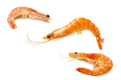 Three shrimps Royalty Free Stock Images