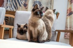 Three Siamese cats on a chair royalty free stock images