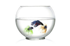 Three Siamese fighting fish in fish bowl , in front of white background stock image