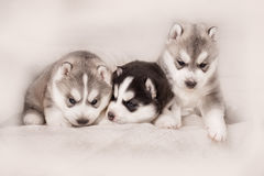 Three of siberian husky puppies Stock Photography