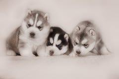 Three of siberian husky puppies Royalty Free Stock Photo