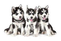 Three Siberian Husky puppies over white Royalty Free Stock Images