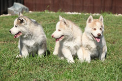 Three Siberian husky puppies Stock Photo