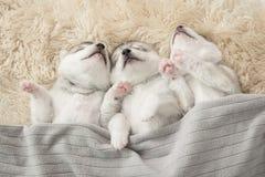Three of siberian husky puppies sleeping Royalty Free Stock Photo