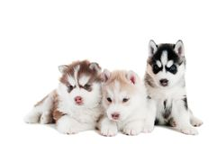 Three Siberian husky puppy isolated Stock Photo