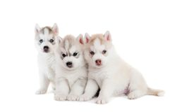 Three Siberian husky puppy isolated Royalty Free Stock Image