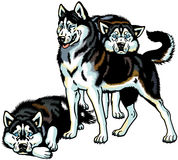Three siberian husky Royalty Free Stock Photos