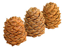 Three Siberian pine cones Royalty Free Stock Photography