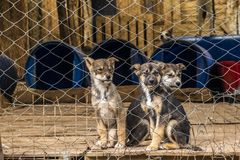 Three Siberian shepherd puppies in a penned dog farm stock photo