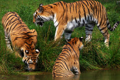 Three Siberian tigers stock photo