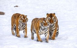 Three Siberian tigers are walking in a snowy glade. China. Harbin. Mudanjiang province. Hengdaohezi park. Siberian Tiger Park. stock photography