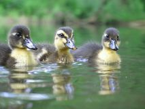 Three Siblings. Three wild mallard ducklings sitting on the water, reflecting their image in the water Royalty Free Stock Photography