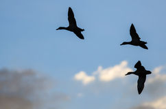 Three Silhouetted Ducks Flying in the Dark Evening Sky. Three Silhouetted Ducks Flying in the Dark Blue Evening Sky Royalty Free Stock Image