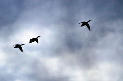 Three Silhouetted Ducks Flying in the Dark Evening Sky. Three Silhouetted Ducks Flying in the Darkening Evening Sky Stock Photos