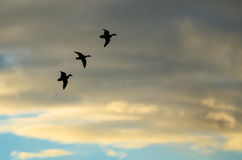 Three Silhouetted Ducks Flying in the Sunset Sky Stock Images