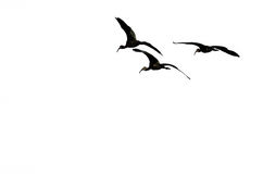 Three Silhouetted White-faced Ibis Flying on a White Background. Small Flock of Three Silhouetted White-faced Ibis Flying on a White Background Stock Photo