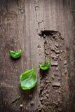 Fresh basil leaves on gouged wood Stock Image