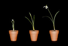 Three single snowdrops in terracotta pots. Three snowdrops of varying maturity in terracotta plant pots on a black background Royalty Free Stock Image