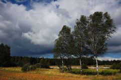 Three sisters birch. In Summer Royalty Free Stock Photos