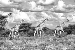Three sisters black and white. Kgalagadi Stock Images